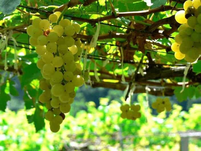 types of wine: chenin blanc
