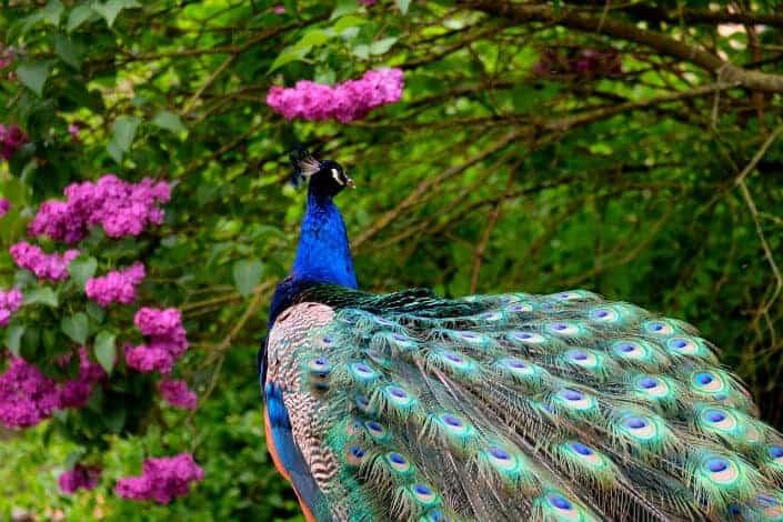 Peacock walking.