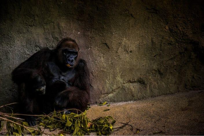 Gorilla sitting alone