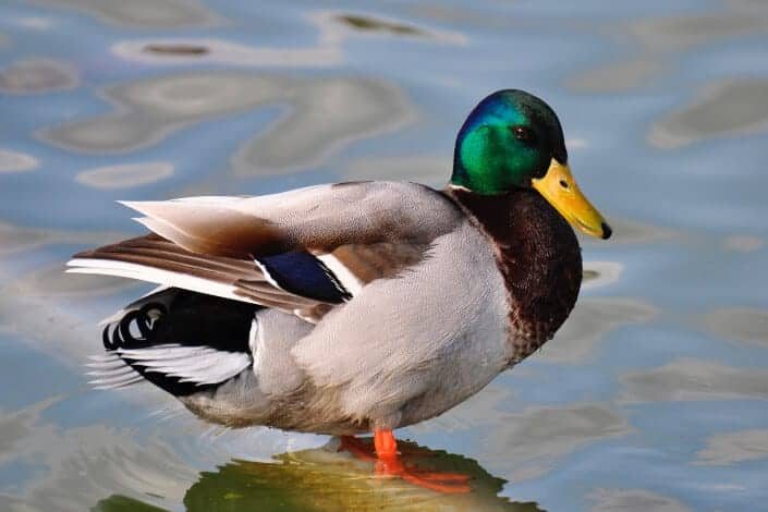 corny jokes-What do you get if you cross mistletoe and a duck_ A Christmas Quacker