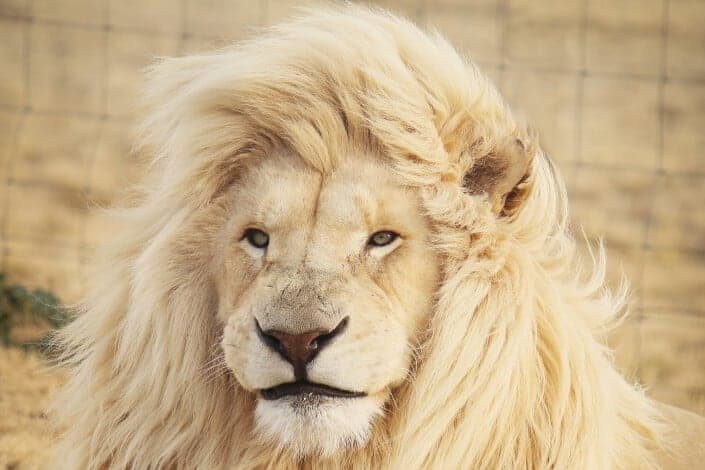 corny jokes- Why can't you trust the king of the jungle_ Because he's always lion.