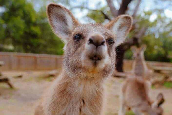 corny jokes- kangaroo