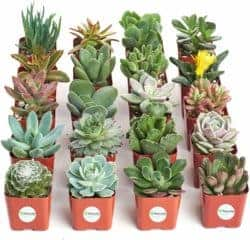 unique gift - Variety Pack of Mini Succulents