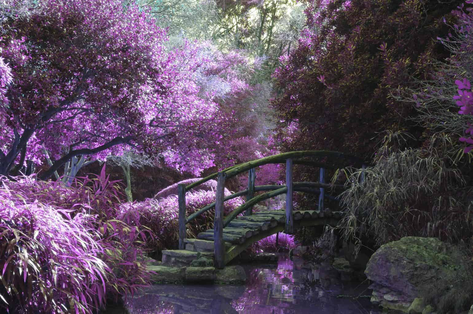 Garden filled with lavender flowers and a bridge.