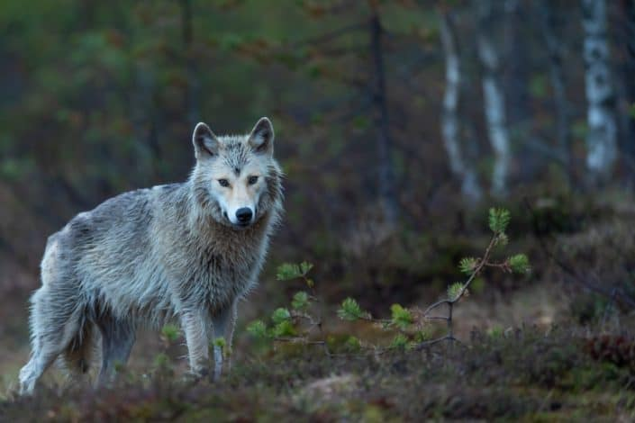 good mottos #65 - throw me to the wolves and I will return leading the pack.jpg