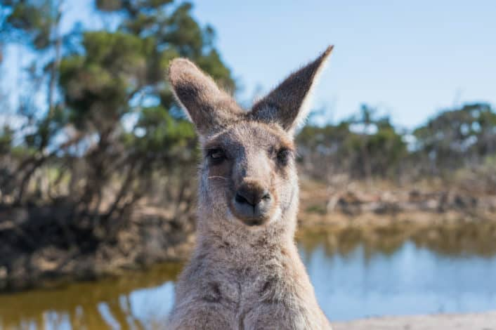 Best Trivia for Kids - 5 Which country is home to the kangaroo? Australia.jpg