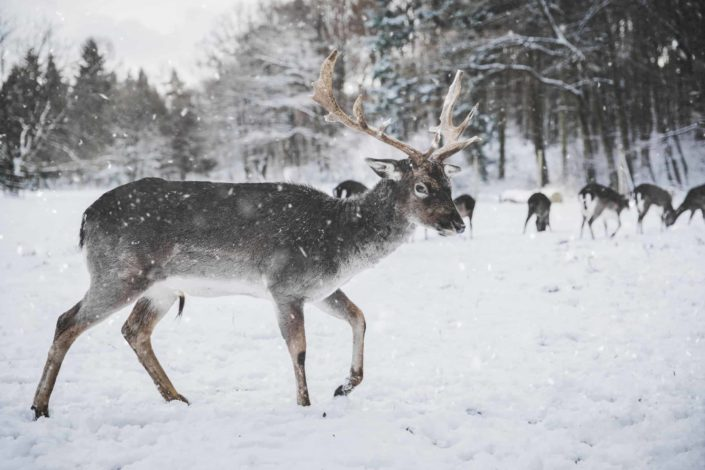 Are Santa's reindeer male or female?.jpg