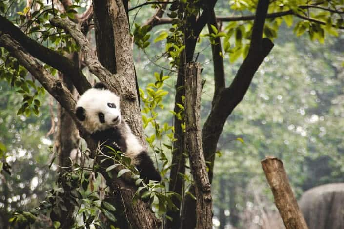 Fun Trivia Questions - Which country own every panda in the world