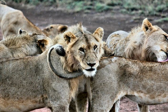 Funny trivia questions - What is a group of lions called