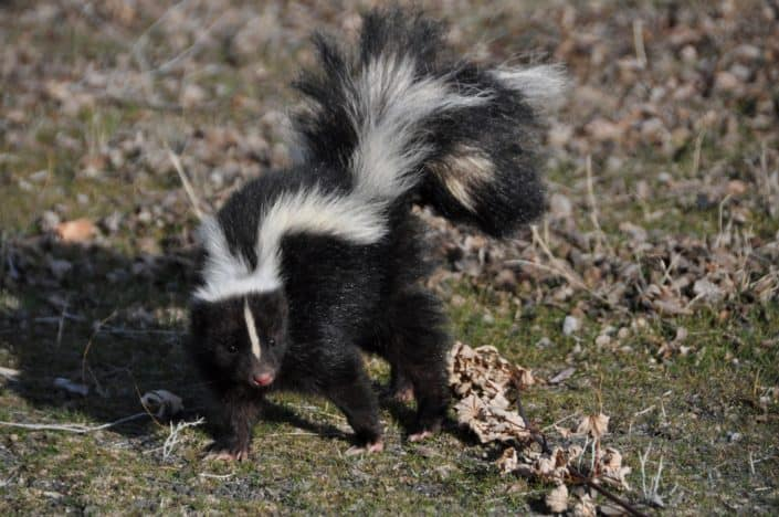 In Minnesota, it is illegal to tease what type of animal? Skunks.jpg