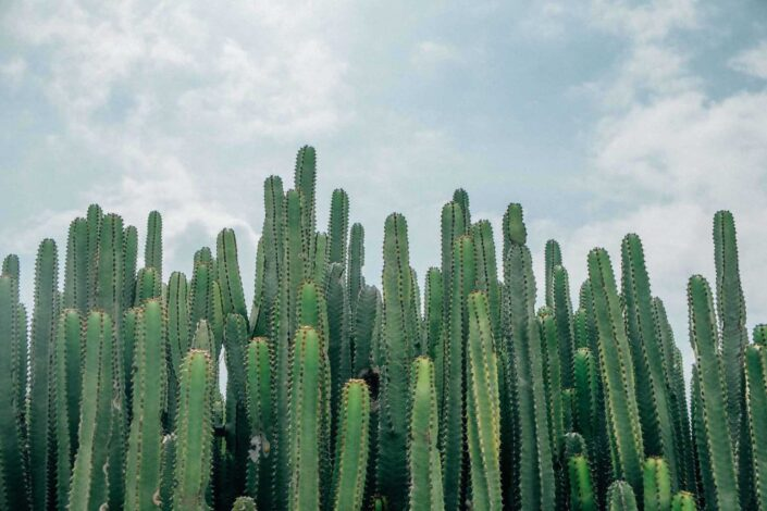 A crowd of Cactus