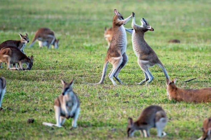 What animal can't walk backward? Kangaroo.jpg