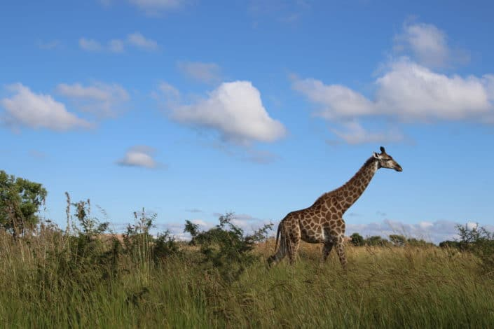 Which is the tallest mammal in the world? Giraffe.jpg