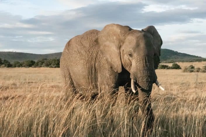 How long is the gestation period of an African elephant? Answer: 22 months.jpg