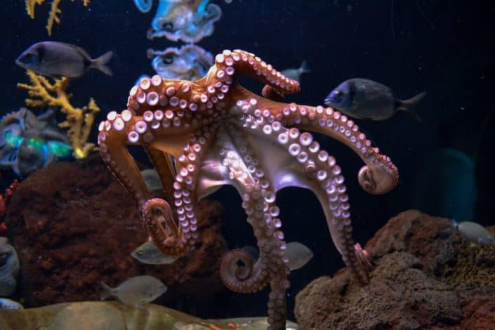 How many hearts does an octopus have? Answer: Three
