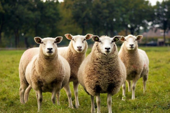 Which woolly animal is the most mentioned in the Bible? Answer: Sheep.jpg