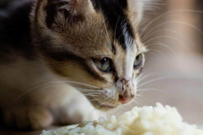 Cat sniffing its food