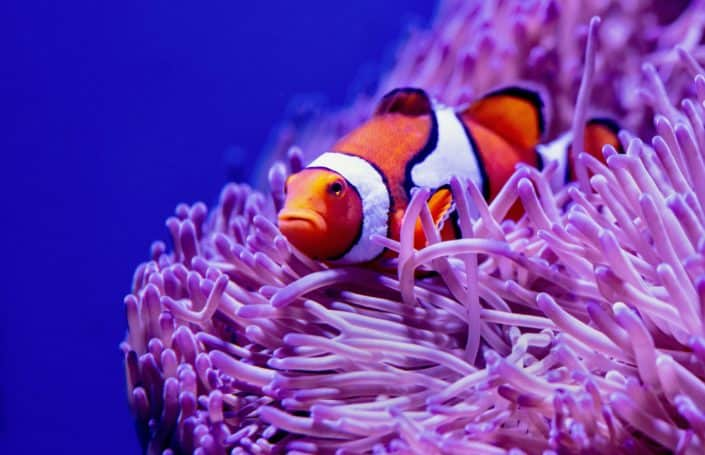 "In Walt Disney's 2003 film ""Finding Nemo"", what type of fish is Nemo?Clown Fish.jpg"