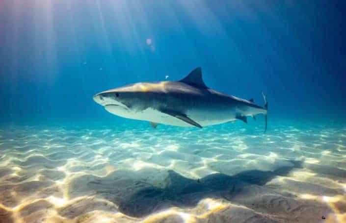 Huge shark under the blue sea
