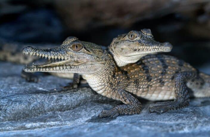 Do Crocodiles Have Sweat Glands to Release Heat?.jpg