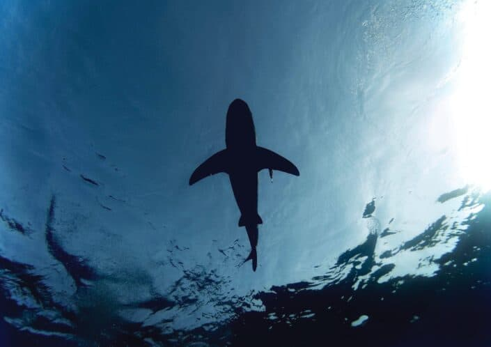 Which organ accounts for up to 30% of a shark's body mass?.jpg