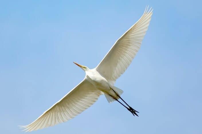 Bird flying in with wings wide open