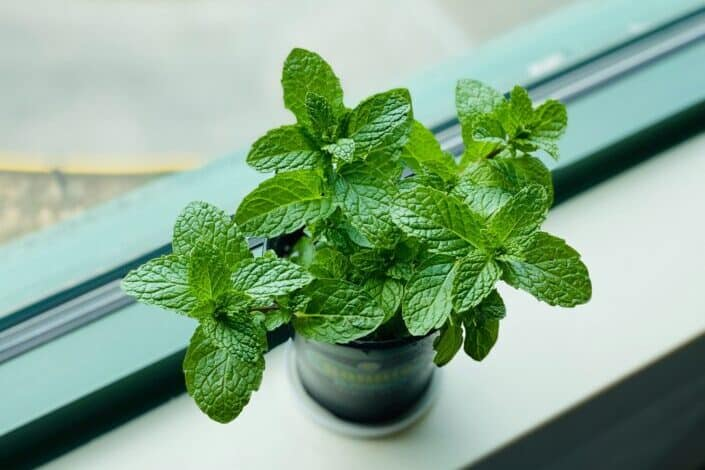 A mint plant by the window
