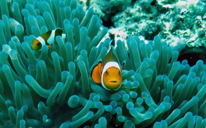Two clownfishes