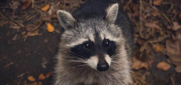 macro shot of a live racoon