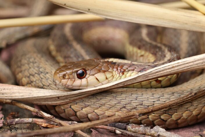 A brown poisonous snake
