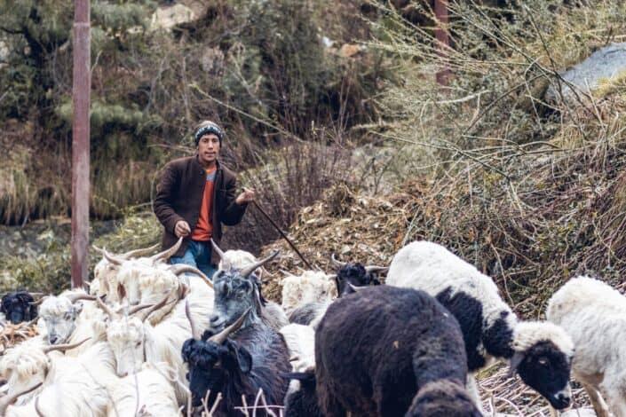A shepherd tending to his flock of sheep.