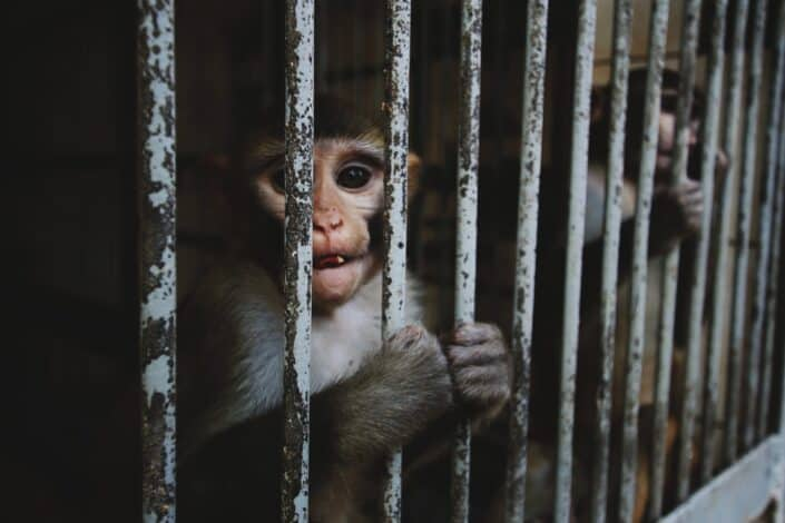 Monkey caged in the zoo