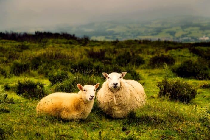 Two sheeps enjoying the green grassland.